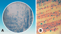 Barvení:<br>A: <i>E. coli</i> (modrá), B: ostatní koliformní bakterie (růžová))