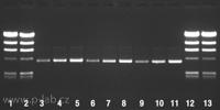 Izolovaná plazmidová DNA o velikosti 4 kb pomocí 3 ekvivalentních kitů: řada 1, 2, 12, 13: Lambda Hind III Marker 500 a 750 ng; řada 3, 4, 5: Kit competitor