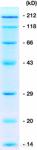 Proteinový marker ROTI<sup>&reg</sup>-MARK STANDARD
