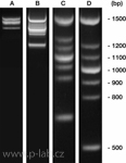 PCR marker DNA<i>score</i>